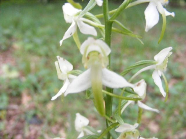 orchidée sauvage Dscf0011