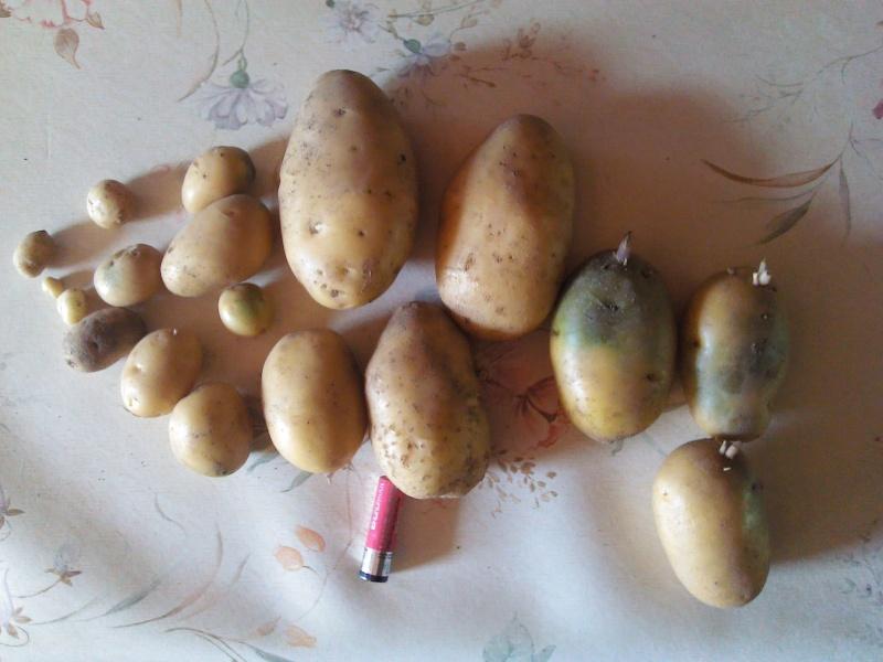 Evolution des cultures de pommes de terre 2013 - Page 13 Pdt_210