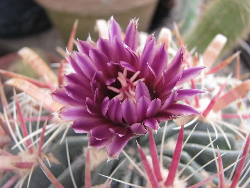 premiere fleur de l année Cactus10