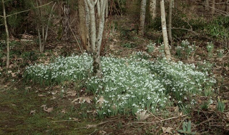 Galanthus nivalis : le Perce neige. Galant10