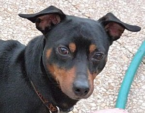 Adoption Cysco pinscher né en 2007 (91) Sysco_11