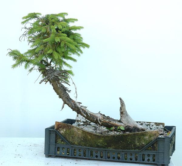 First steps to a spruce cascade Fichte11