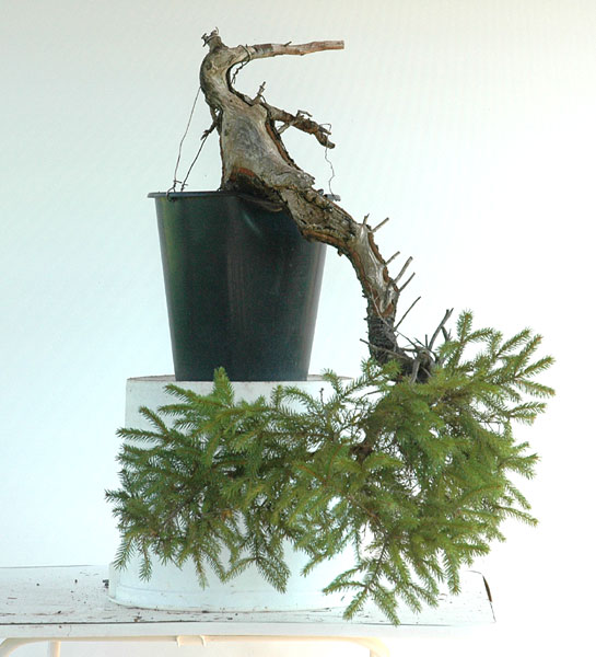 First steps to a spruce cascade Fichte12