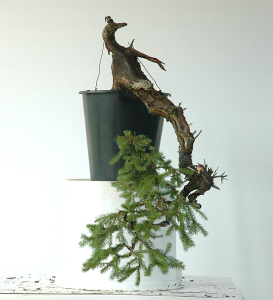First steps to a spruce cascade Fichte13