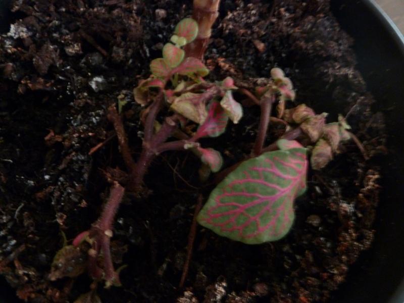 identification de plante P1020523