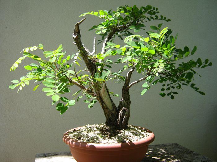 Acacia , brutta bestia . Acacia12