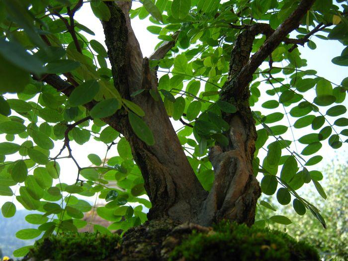Acacia , brutta bestia . Acacia13