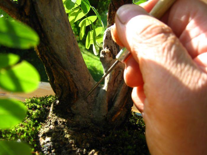 Acacia , brutta bestia . Acacia15