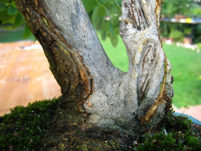 Acacia , brutta bestia . Acacia16