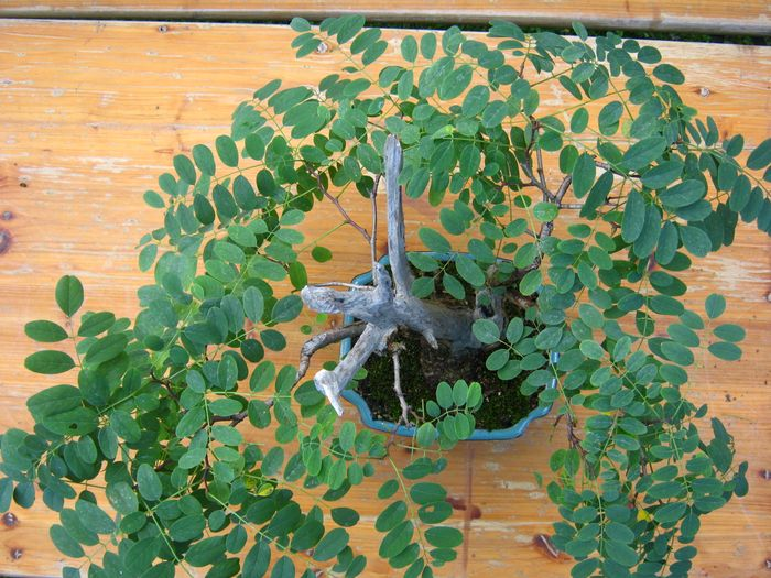 Acacia , brutta bestia . Acacia18