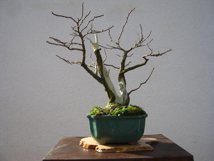 Acacia , brutta bestia . Immagi12