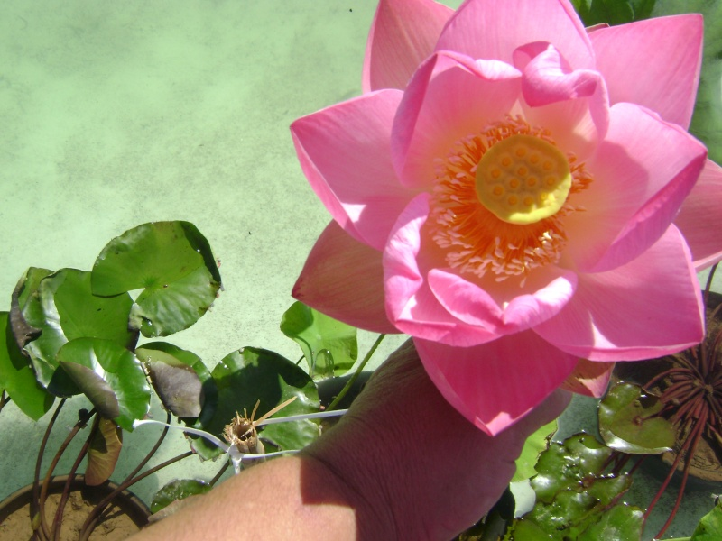 semis de lotus 3710