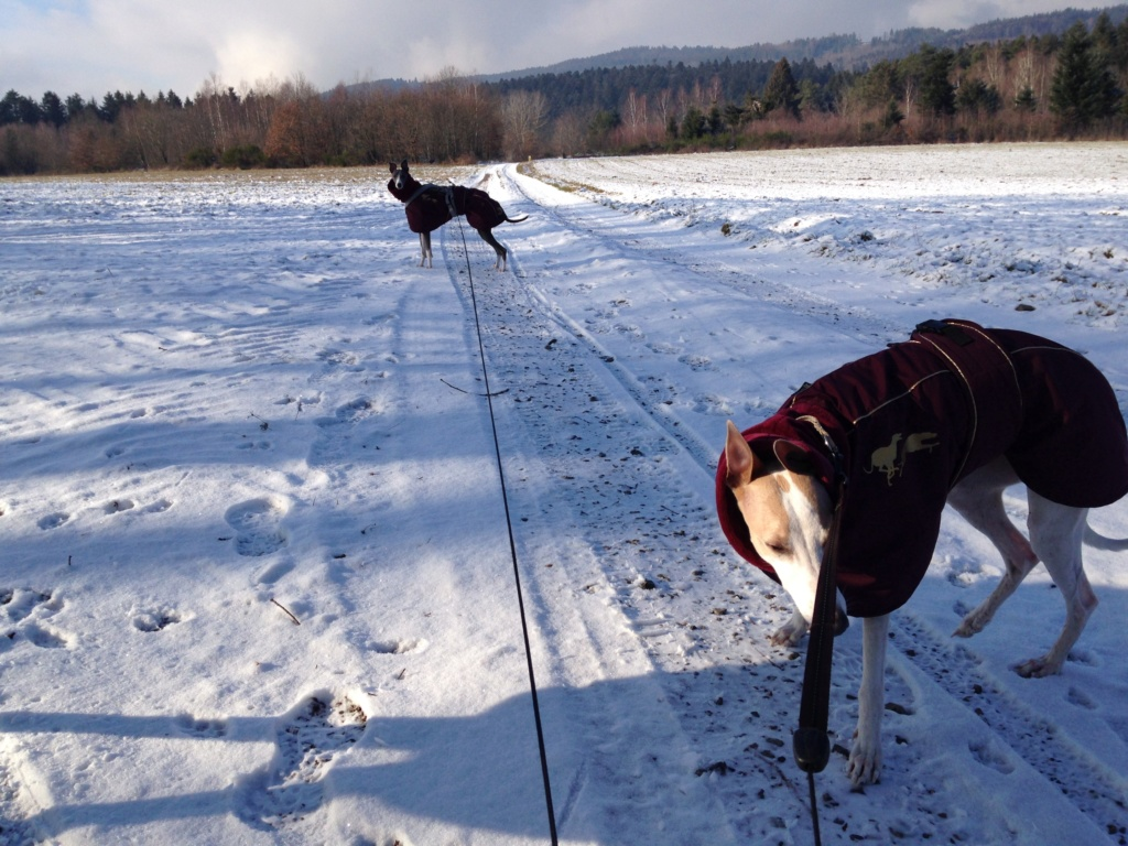 JOSEPHINE whippet 2 ans 1/2 - Page 4 Img_0811