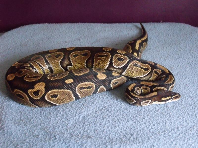mon cheptel python regius !!!! Grosse10