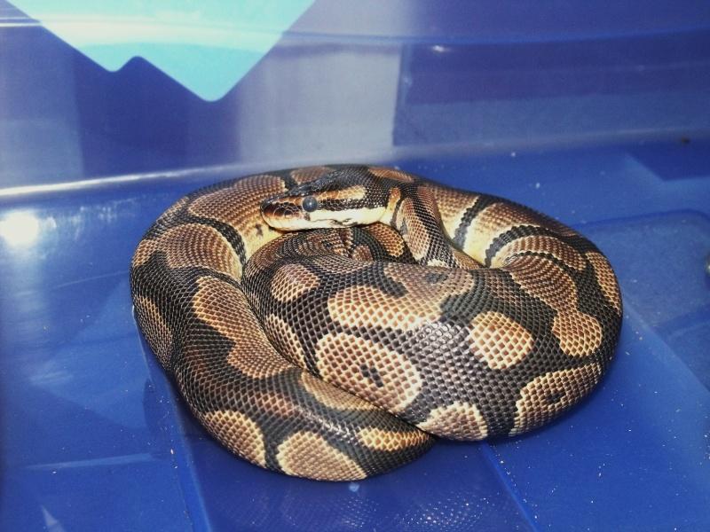 mon cheptel python regius !!!! Hugett10