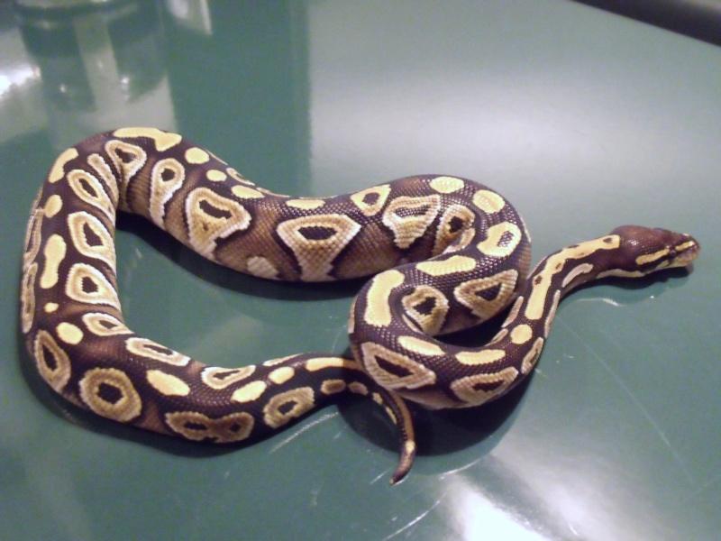 mon cheptel python regius !!!! Mojave10