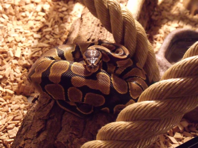 mon cheptel python regius !!!! Nalla10