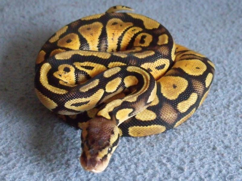 mon cheptel python regius !!!! Pastel10