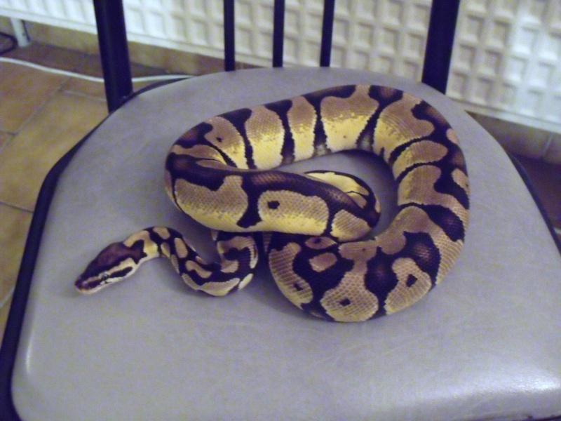 mon cheptel python regius !!!! Pastel11