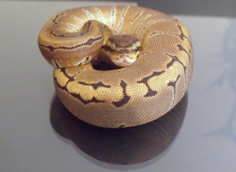 mon cheptel python regius !!!! Pinstr10