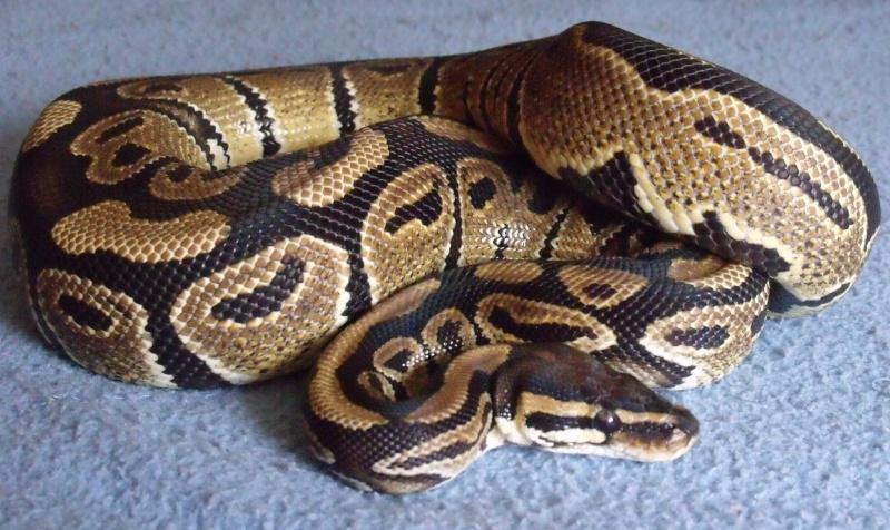 mon cheptel python regius !!!! Timone10