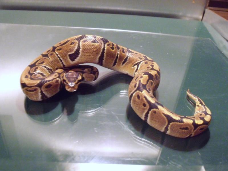 mon cheptel python regius !!!! Tiote10