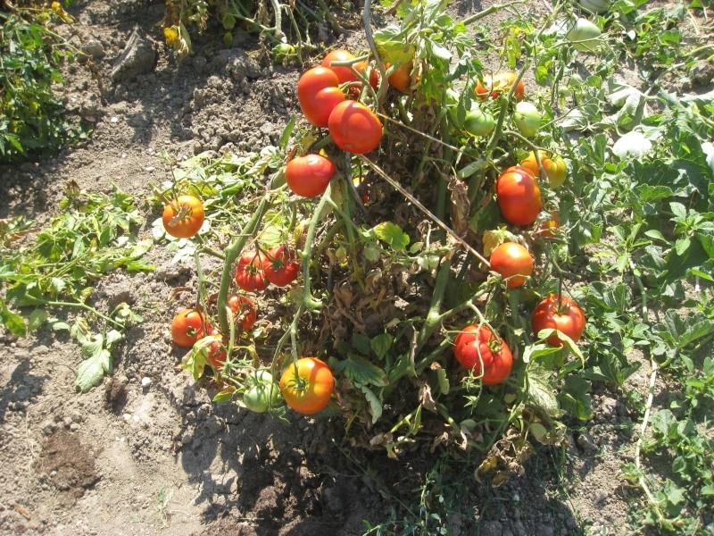 les tomates a la brouette Img_0018
