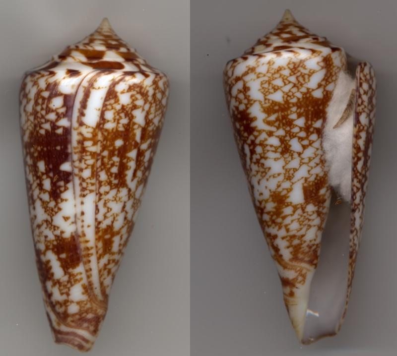 Conus (Leptoconus) amadis   Gmelin, 1791 Amadis10