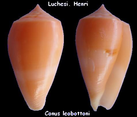 Conus (Pionoconus) leobottonii   Lorenz, 2006 Conus_25