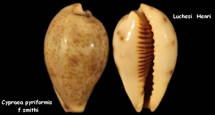 Erronea pyriformis smithi - (Sowerby, 1881) Cyprae13