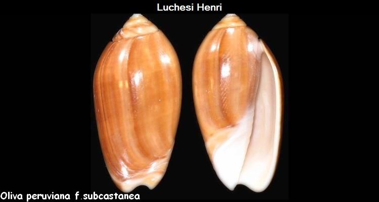 Americoliva peruviana f. subcastanea (Vanatta, 1915) accepted as Americoliva peruviana (Lamarck, 1811) Oliva_19