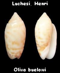 Annulatoliva buelowi buelowi (Sowerby, 1890) Oliva_20