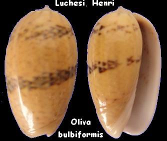 Carmione bulbiformis (Duclos, 1840) - Worms = Oliva bulbiformis Duclos, 1840 Oliva_22