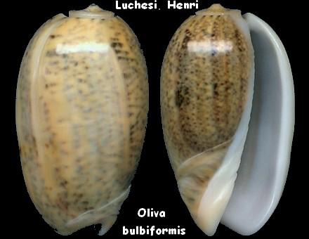 Carmione bulbiformis (Duclos, 1840) - Worms = Oliva bulbiformis Duclos, 1840 Oliva_23