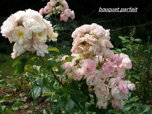 Rosa 'Bouquet Parfait' !!! - Page 4 Aout_042