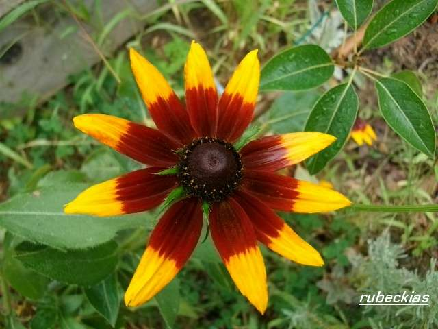 Rudbeckia !!! - Page 8 Aout_065