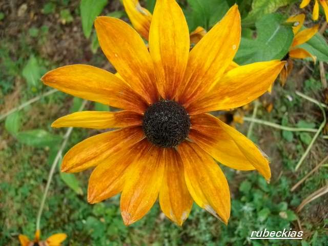 Rudbeckia !!! - Page 8 Aout_066