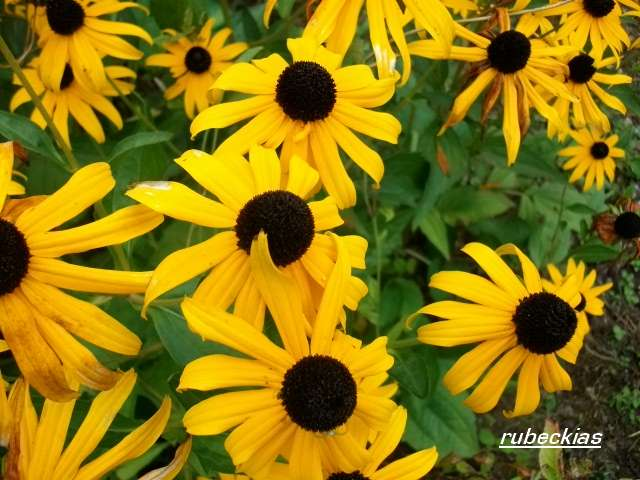 Rudbeckia !!! - Page 8 Aout_067