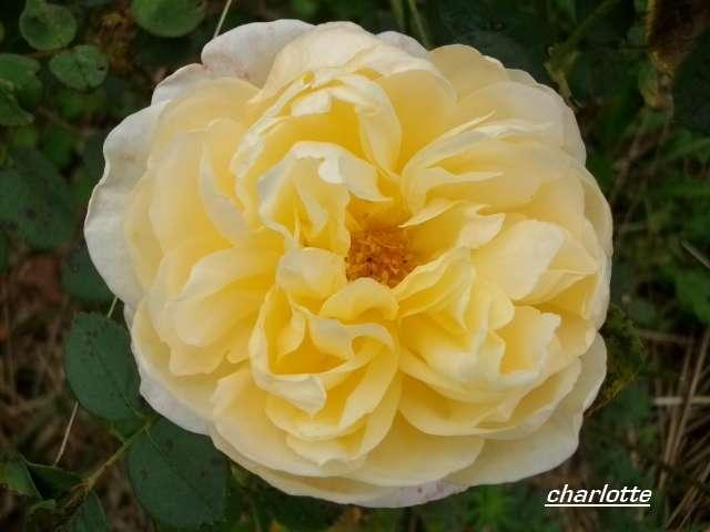 charlotte  Octobr12