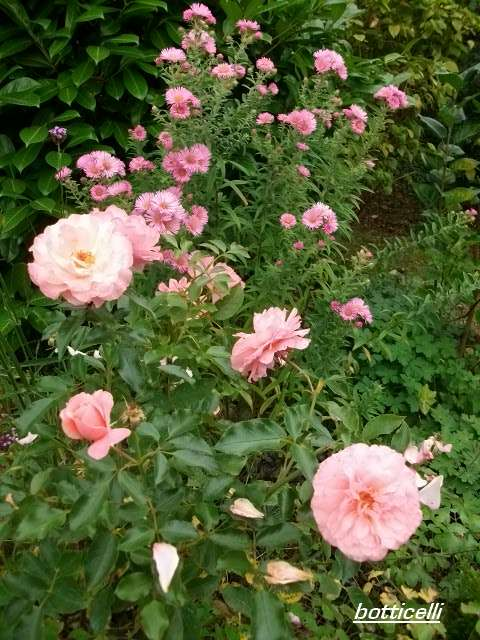Rosa 'Botticelli' Octobr22