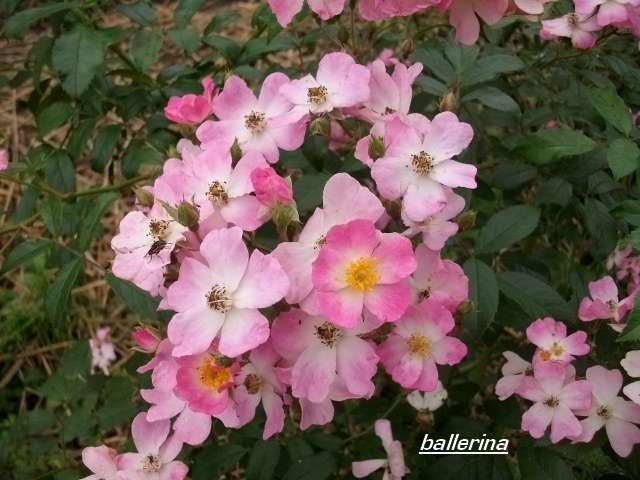 Rosa 'Ballerina' !!! - Page 3 Octobr43
