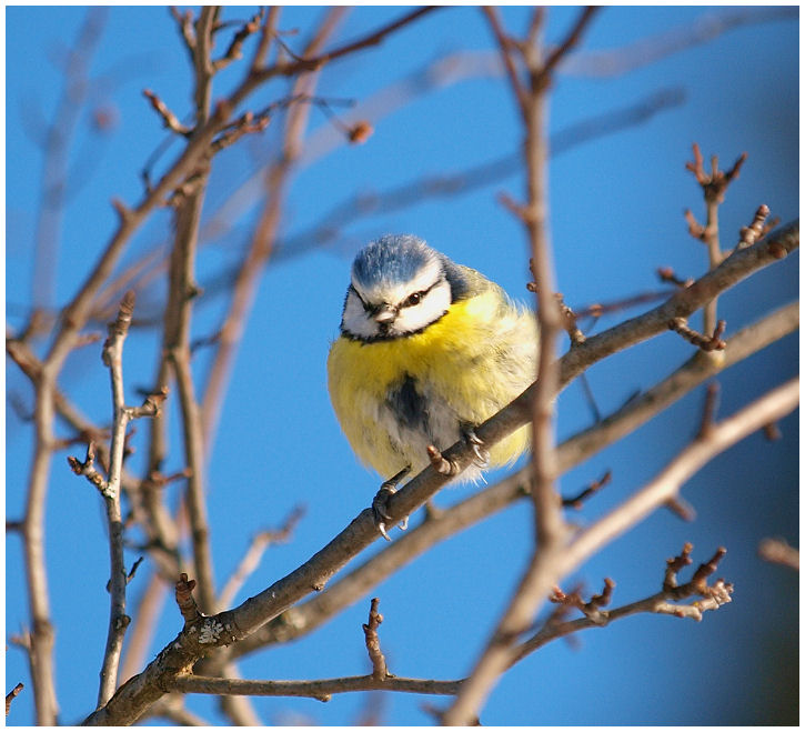 Blue bird Blue0110