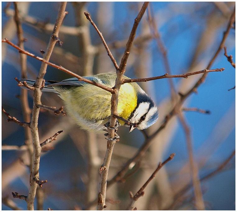 Blue bird Blue0210