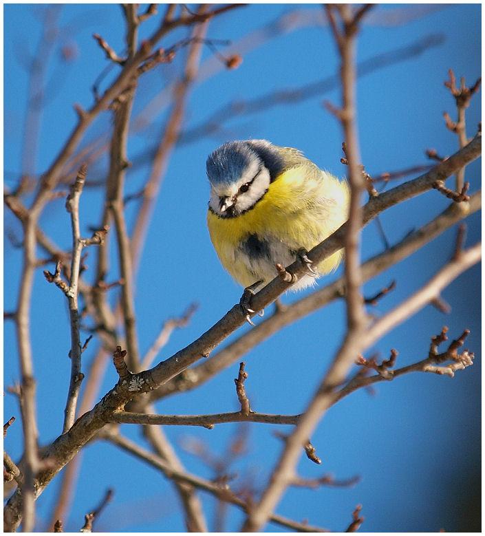 Blue bird Blue0310