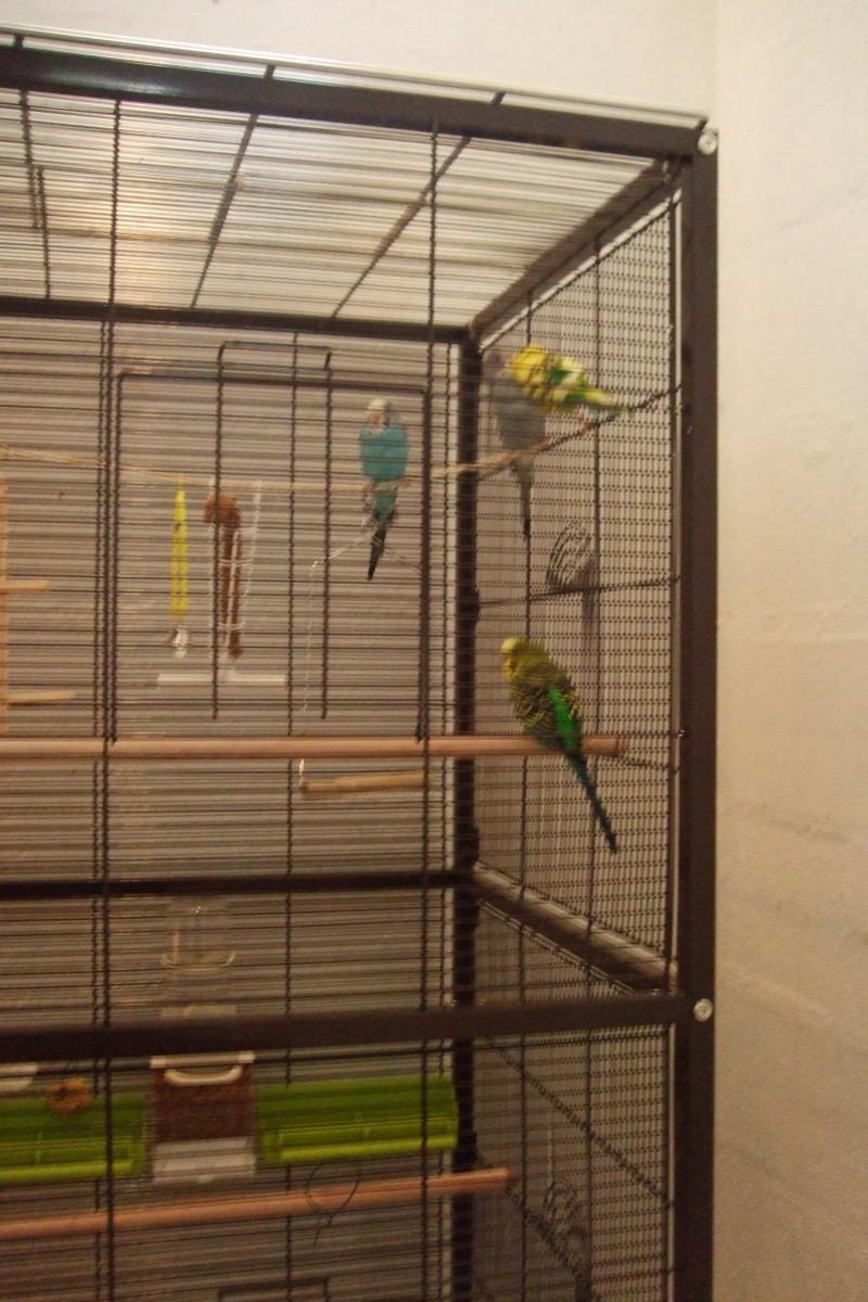 ma cage est-elle assez confortable pour mes 2 perrruches?? - Page 3 Dscf2922