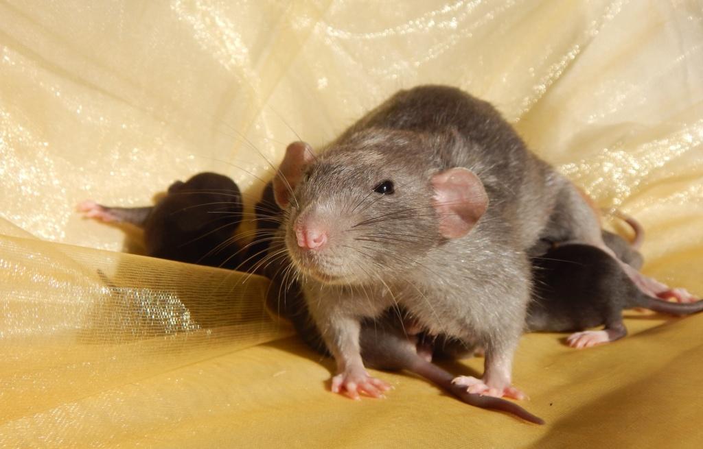 Ségolene et ses ratons Bb211