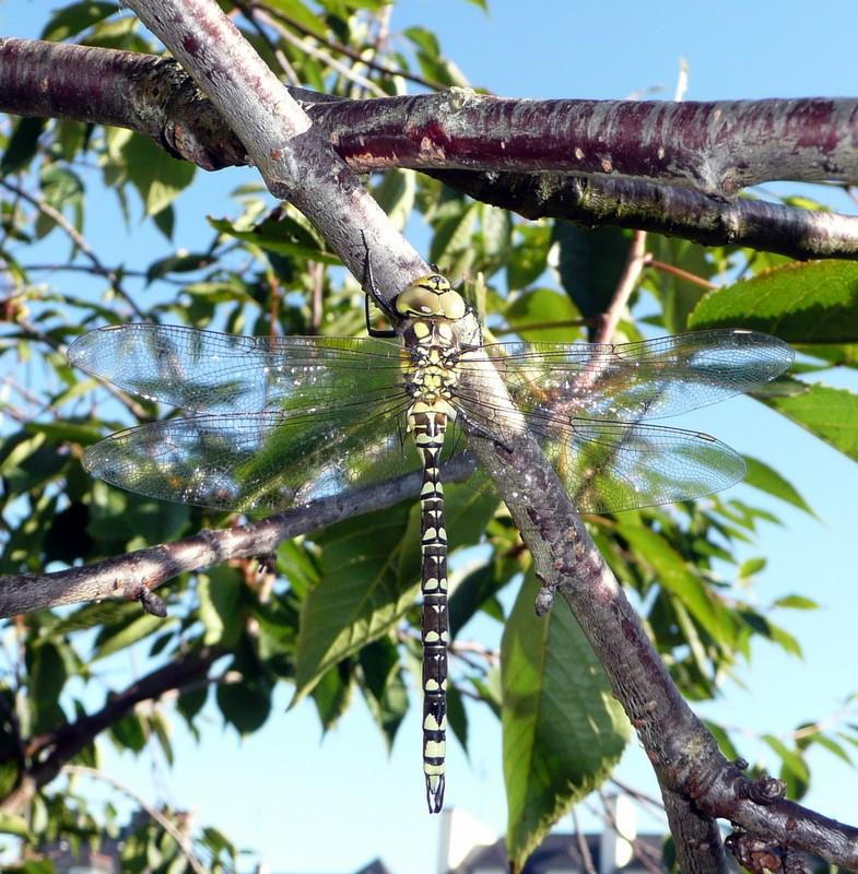 larve d'aeshne? P1060411