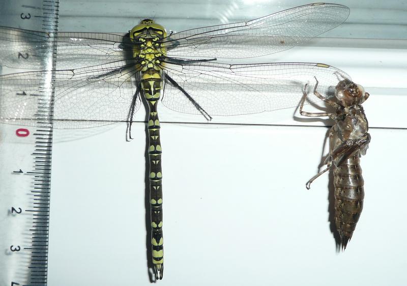 larve d'aeshne? P1060412