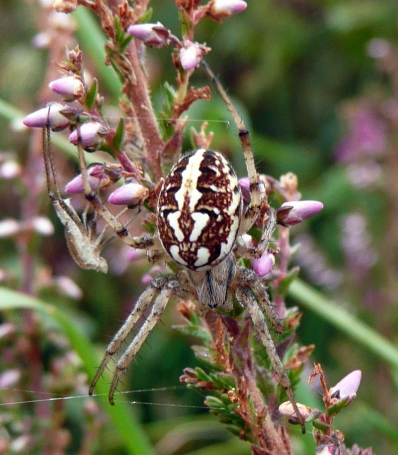 Araignée sur callune P1060413