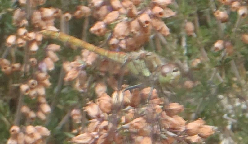 Plus meridionale que striolatum? P9090215